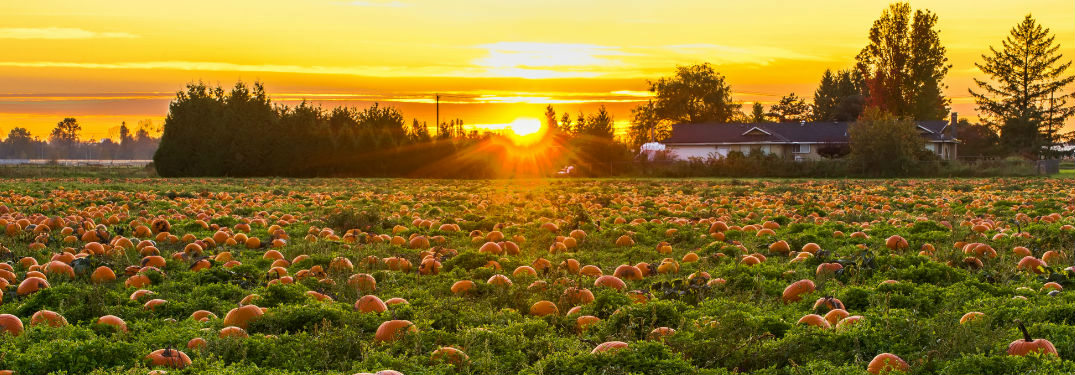 peaceful pumpkin patch at sunset