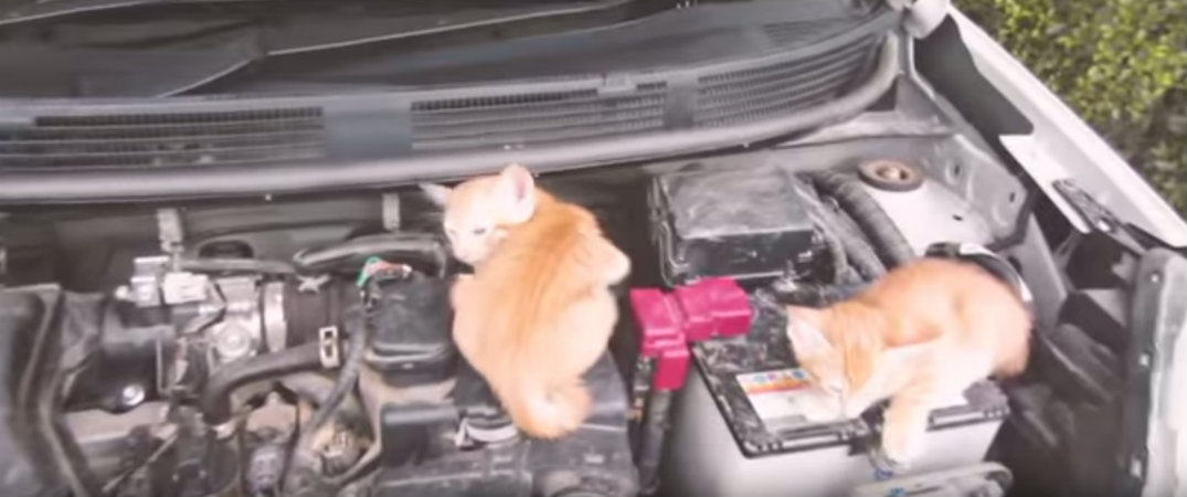 Do Cats Sleep Under Car Hoods