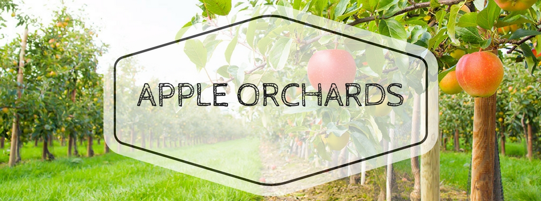 Apple Orchard with Red Apples on Trees and Green Grass