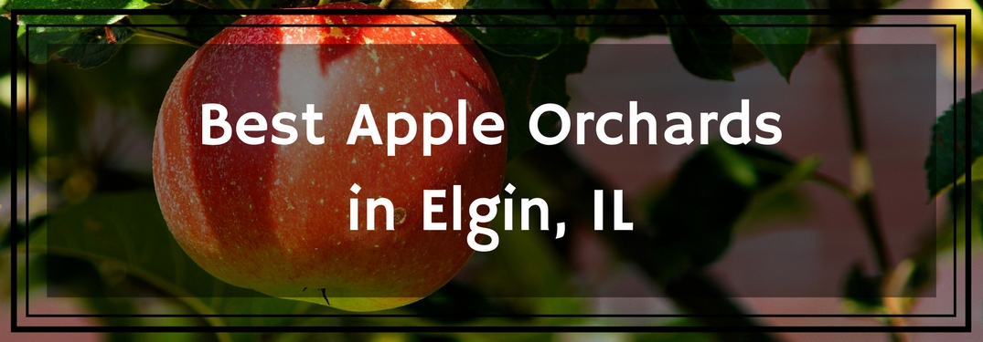 text overlay best apple orchards in Elgin IL apple on tree