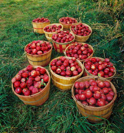 Bushel baskets of apples at an orchard