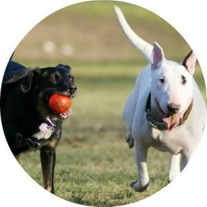 two dogs playing with a ball at the dog park