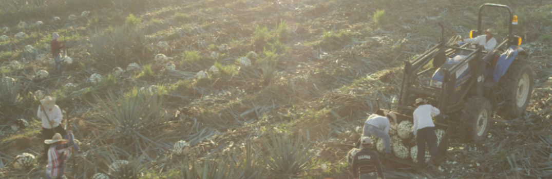 Agave Plant Field