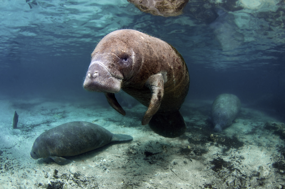West India Manatees Crystal River