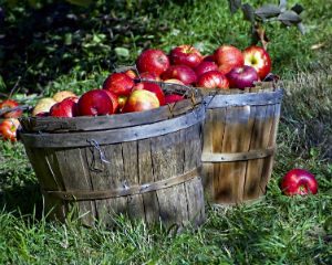 Apple picking is a fun way to spend time outside and get a delicious treat.