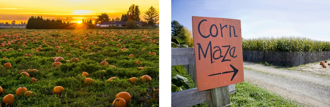 Picture of Pumpkin Patch and Sign that says Corn Maze