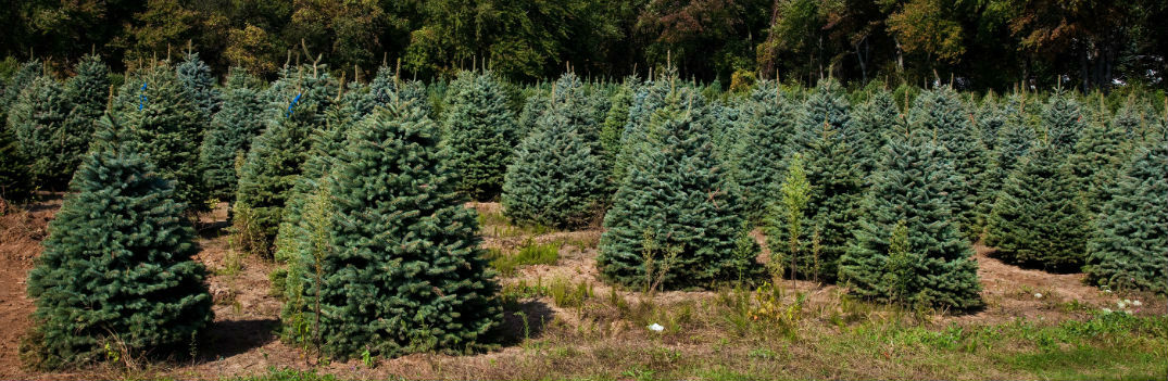 Utica Upstate New York tree farms holidays 2016 - Tree Farms Christmas 2016 For Mohawk Valley Syracuse Utica NY