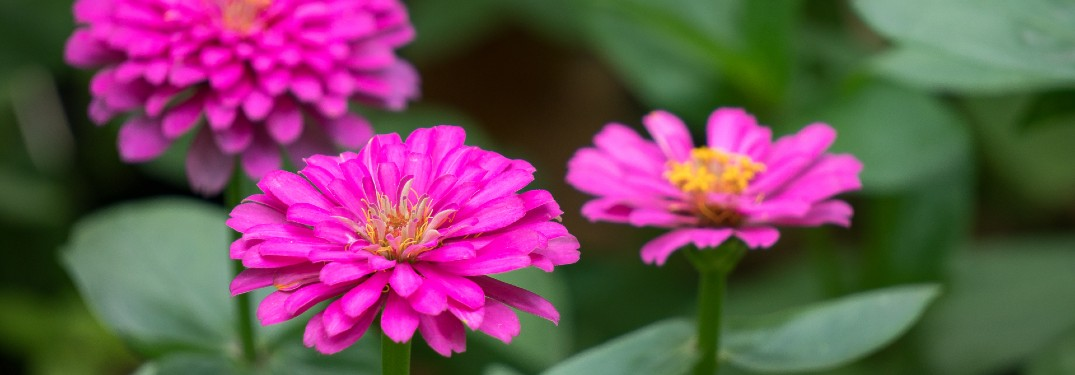 A close-up photo of pink flowers in the spring time.