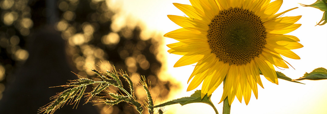 close up of sunflower with trees and sun behind it