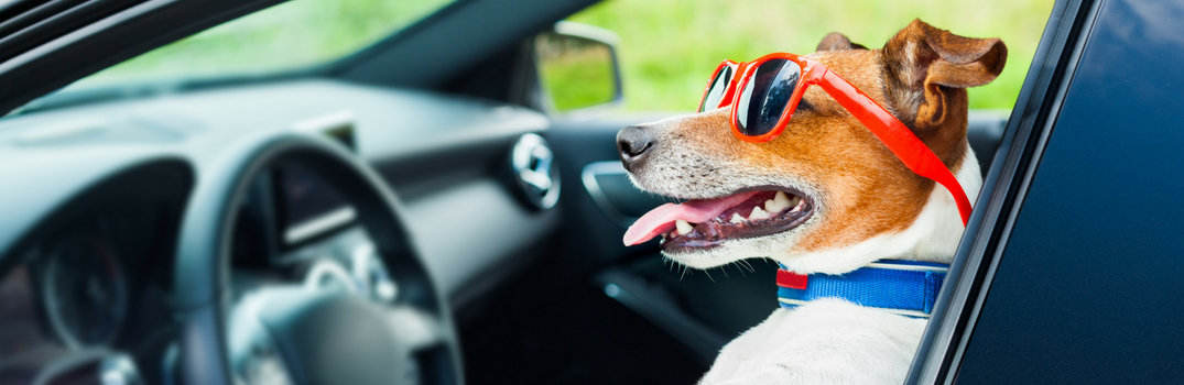 dog in front seat of car with sunglasses on
