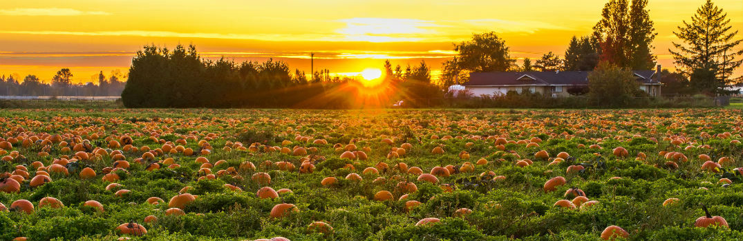 open field of pumpkins at sunset