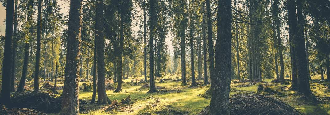 A forest with many tall trees