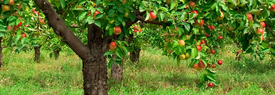 Trees in apple orchard with apples growing on their stems