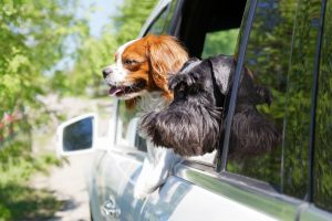 Two Dogs Sticking Heads Out Window of Vehicle
