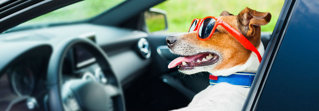 dog in sunglasses sitting in car