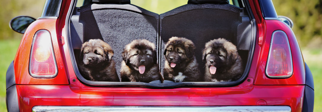 Group of puppies in the open trunk of a vehicle