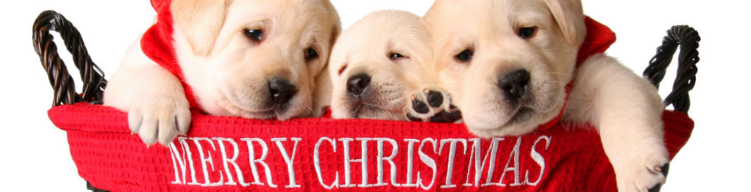 "Three yellow lab puppies in a red basket that reads ""Merry Christmas"" on it in white lettering"