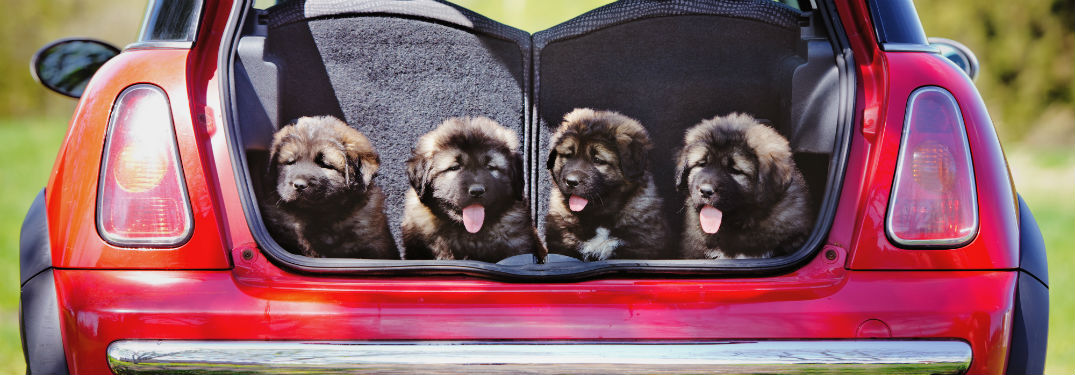 four puppies in back of hatchback vehicle
