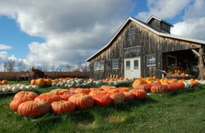 rows of pumpkins outside old wooden building