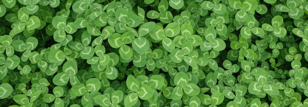 A patch of shamrocks