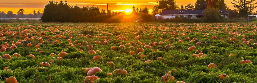 pumpkin patch in the sunset