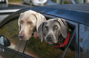 2 dogs look out back car window
