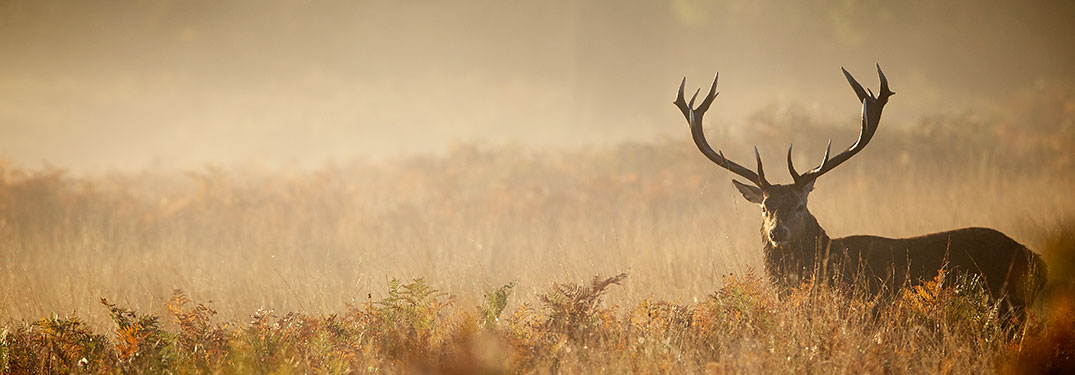 Large deer standing in a brown field