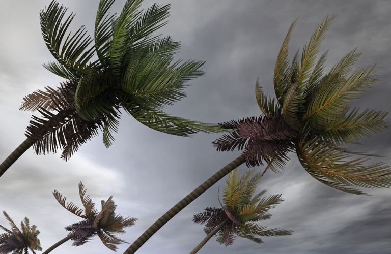 Palm Trees in Windy Weather