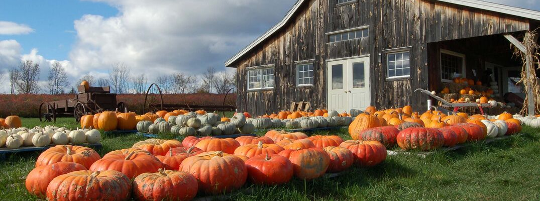 Wooden barn with yard full of pumpkins