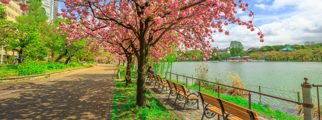 a bright park with benches by the sea and trees shedding cherry blossoms