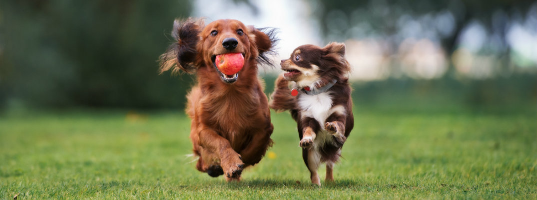2 dogs running next to each other across a grass field with a rubber ball in one mouth