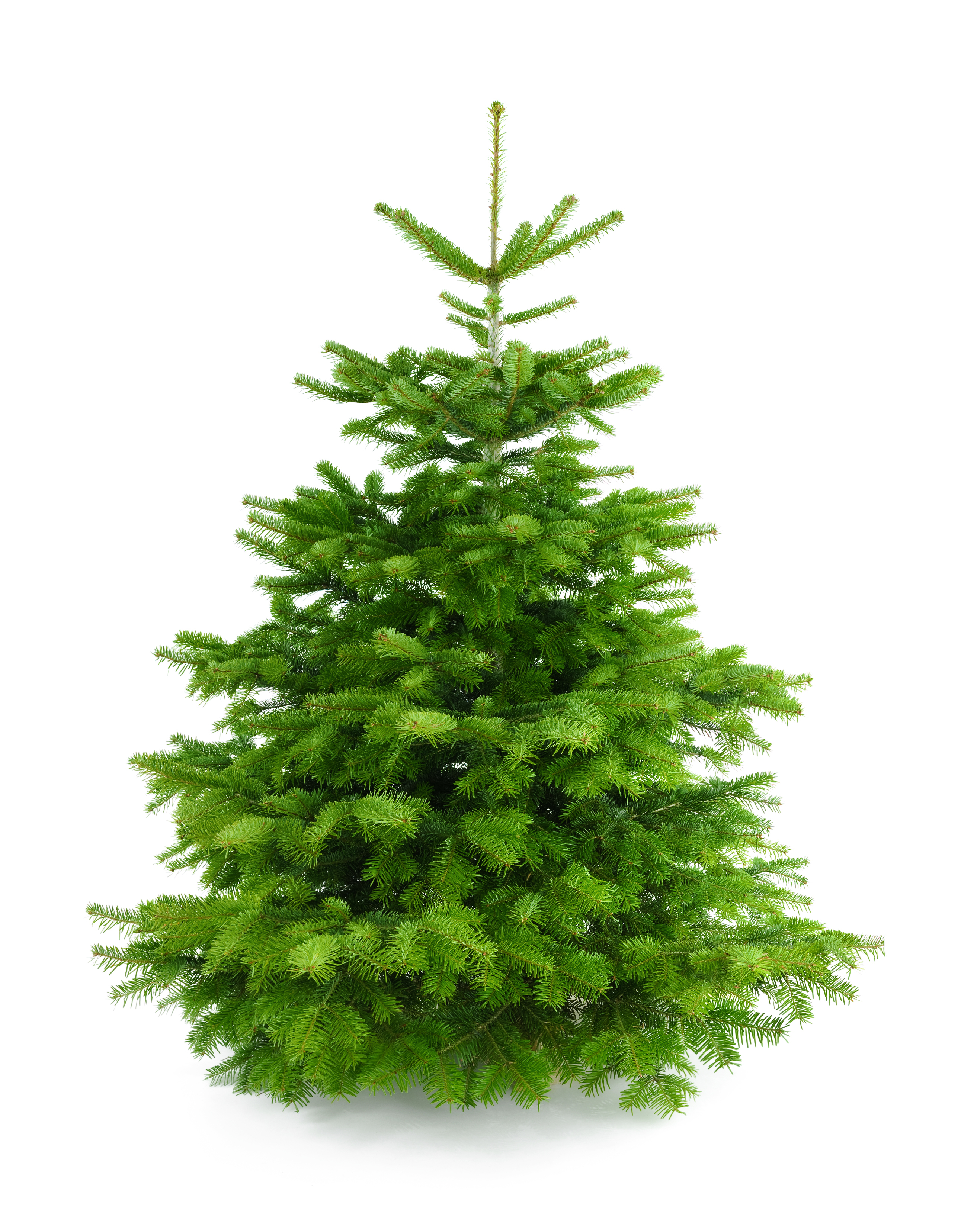 Fresh Christmas Tree.Perfect Fresh Christmas Tree Without Ornaments New Century