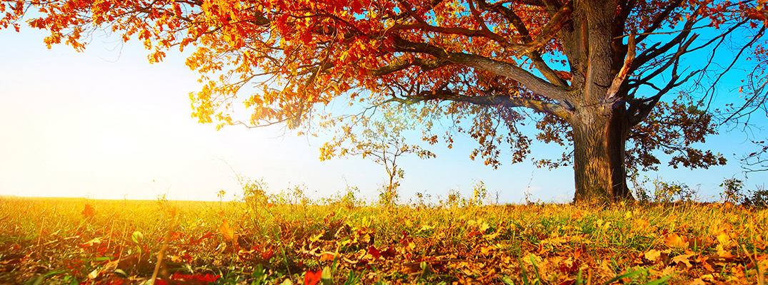 tree with autumn leaves in the sun