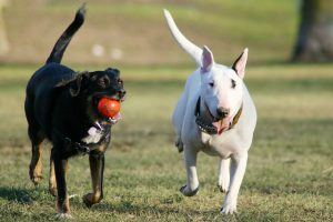 black dog with a ball in her mouth and a white dog running together