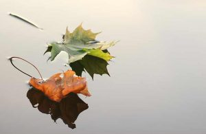 two fall leaves resting on water