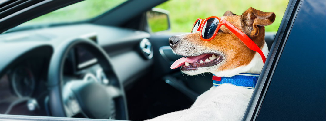Dog wearing sunglasses and driving a car