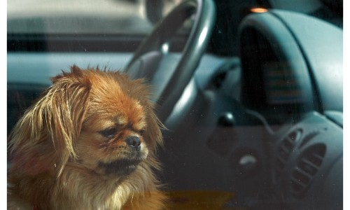 Dog locked in a car and looking sad