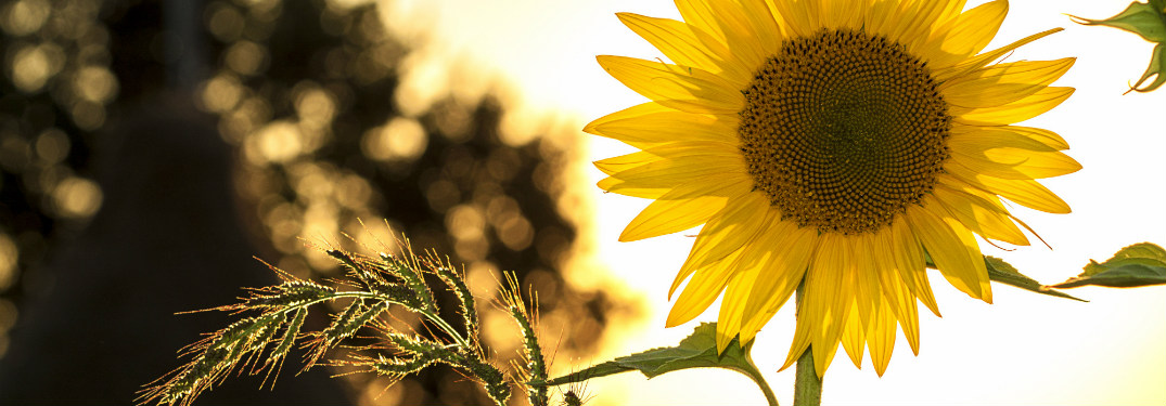 sunflower on sunny day