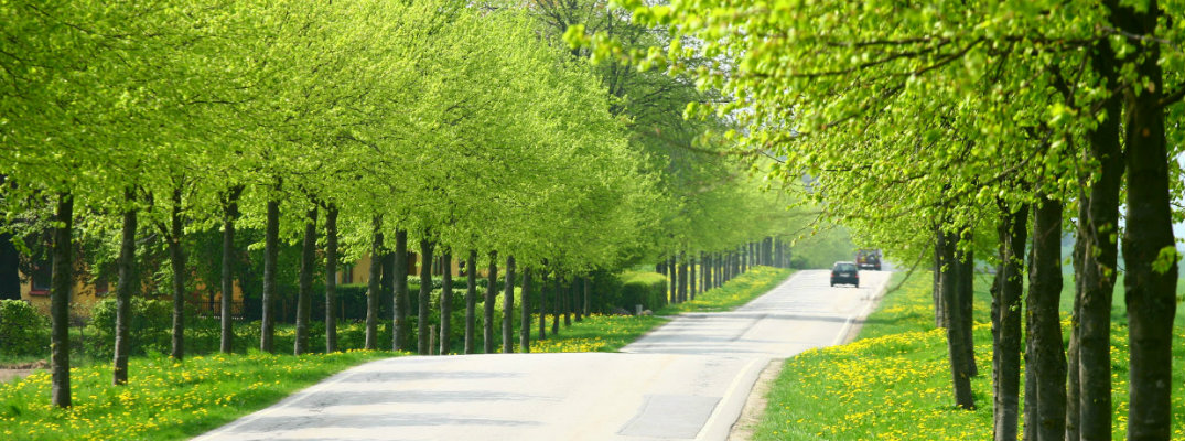 A couple of vehicles traveling down a tree-lined road in spring