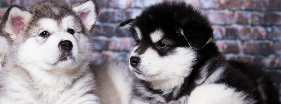 Pair of Alaskan Malamute puppies