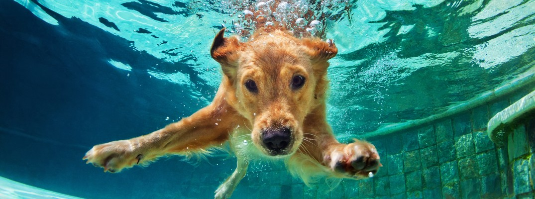 A golden retriever swimming in the pool