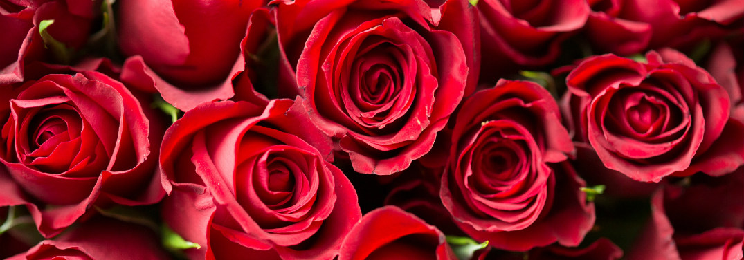 Close-up of romantic red rose blossoms.