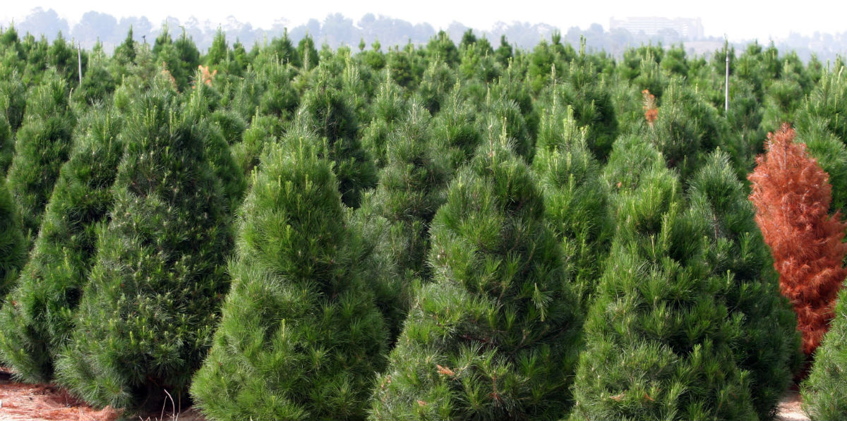 Christmas Tree Farms Near Tampa Clearwater and St ...