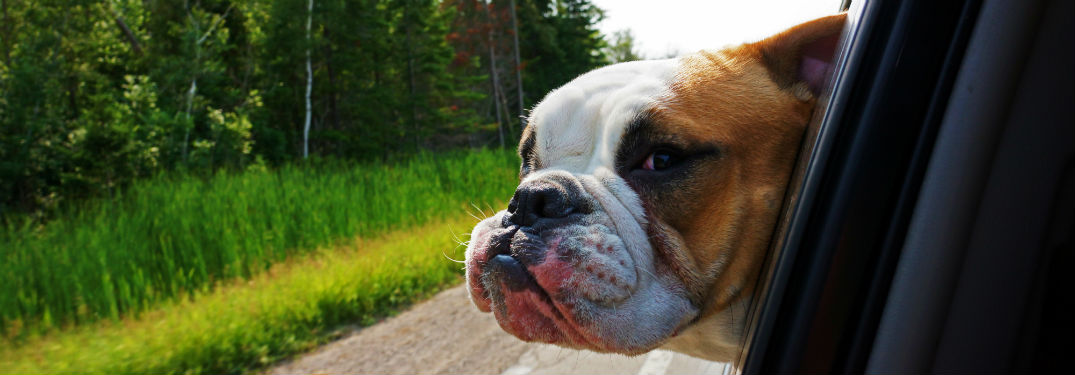 english bulldog in car window