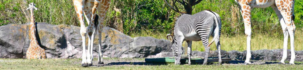 Zebra and giraffes at zoo