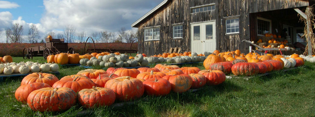 Barn with pumpkins filling front yard