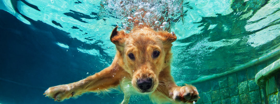 Golden Dog Dives Into Water Cause Hes A Good Boy