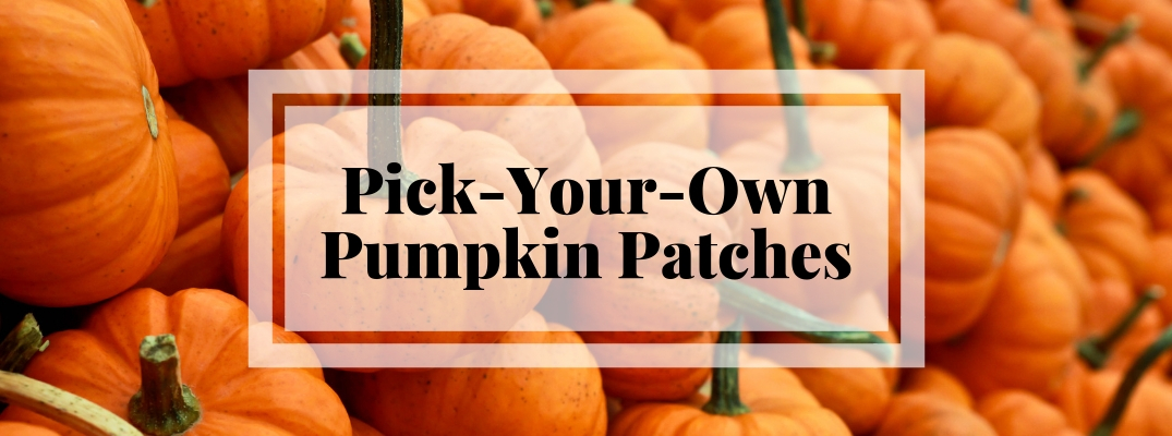 Find a Pumpkin for Your Halloween Jack-O-Lantern this Fall in the San Antonio Area!