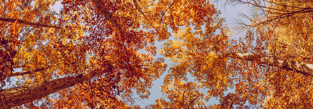 A view looking up at the tops of trees in fall