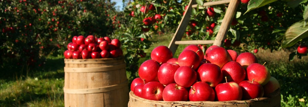 barrels of apples in an apple orchard during harvest